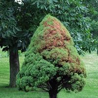 cypress canker, tree fungus, tree fungal diseases
